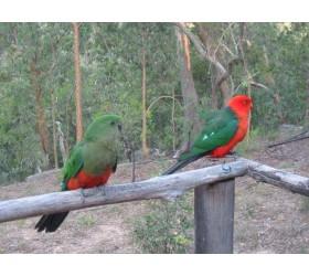 Австралийски кралски папагал