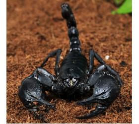 Азиатски скорпион