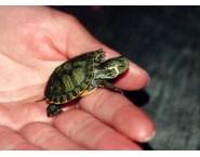 Жълтобуза костенурка