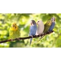 Вълнист папагал