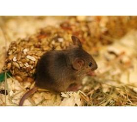 Китайска оризова мишка